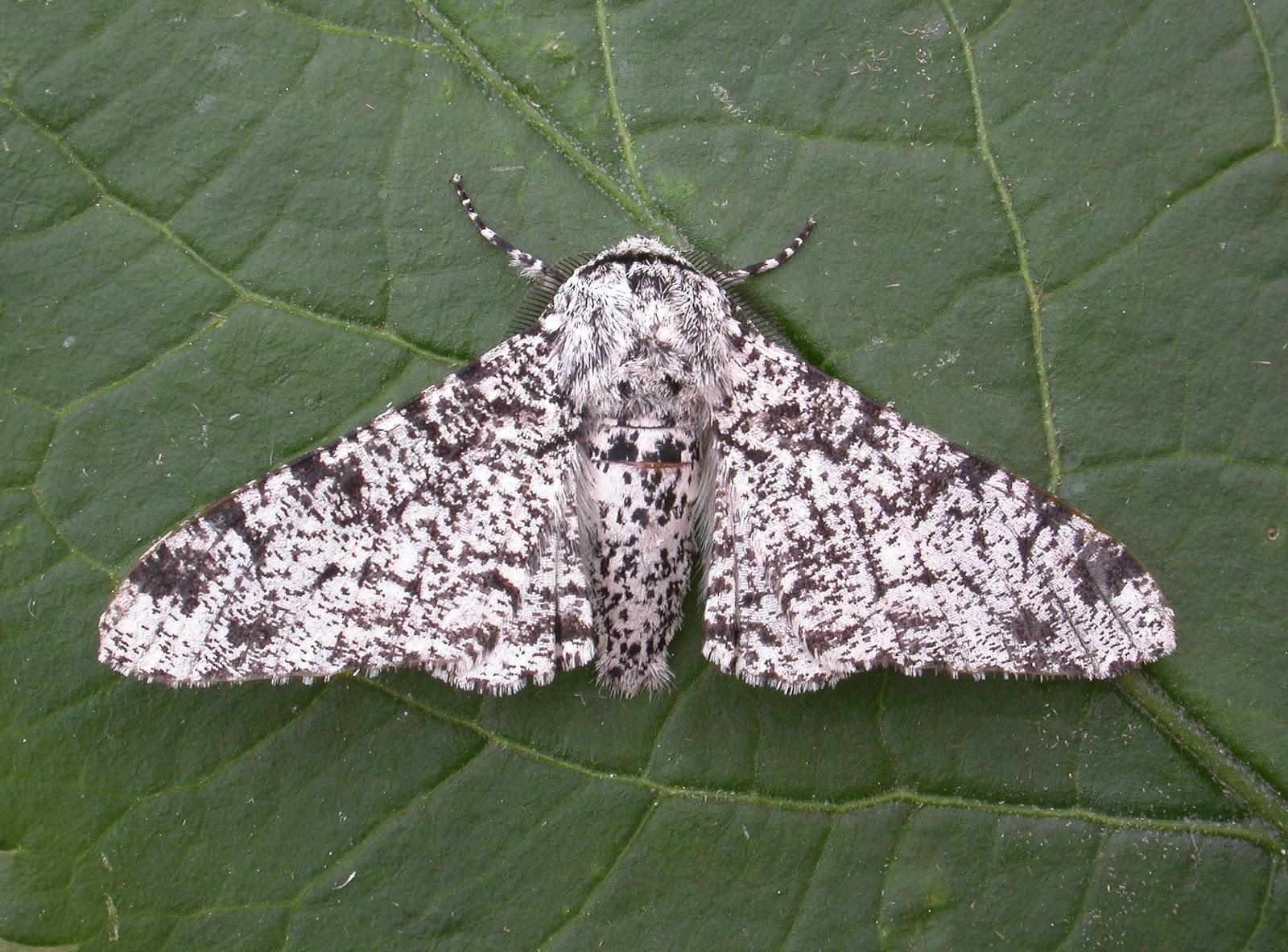 Garden Moths To