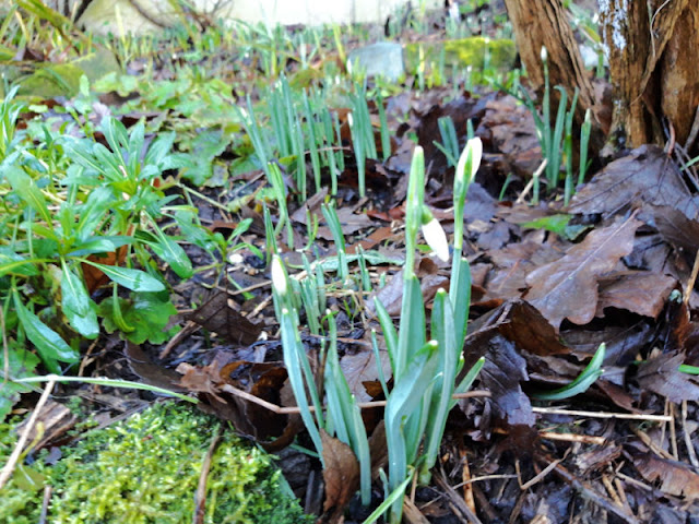 Snowdrops emerging from a Winter border