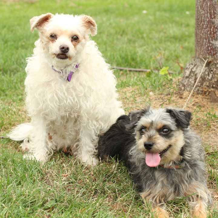 Lucy and Ricky - Yorkshire Terrier and Poodle mix, bonded pair