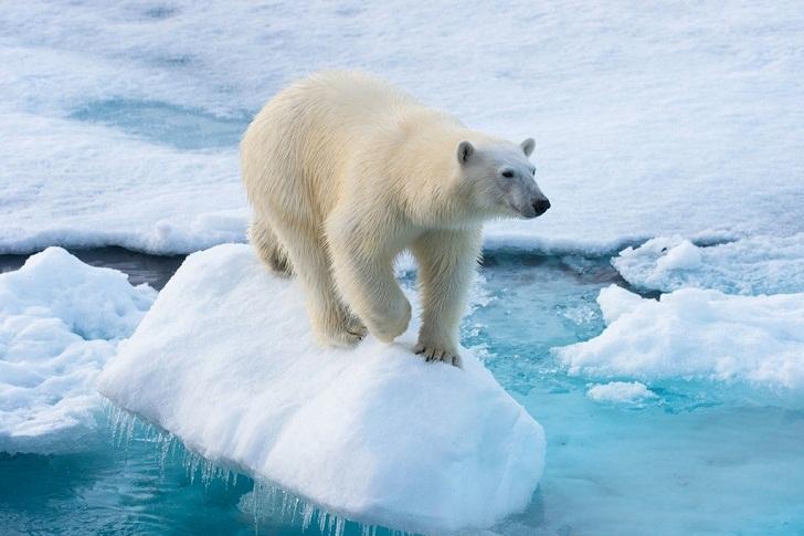 Beruang Kutub Terancam Punah, Masa Depan Bumi Makin Mengerikan, naviri.org, Naviri Magazine, naviri