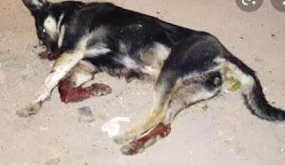 Malgré les instructions Royales, les autorités de Chefchaouen massacrent de pauvres chiens dans la rue!