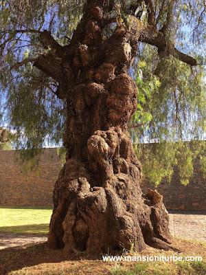 Olivos centenarios en Tzintzuntzan, Michoacán