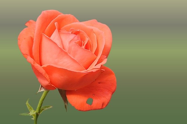 Pink Rose Photo hd
