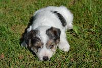 http://fineartfotografie.blogspot.de/2013/06/parson-russell-terrier-welpen.html