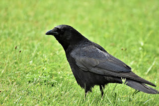 About Crow In Telugu