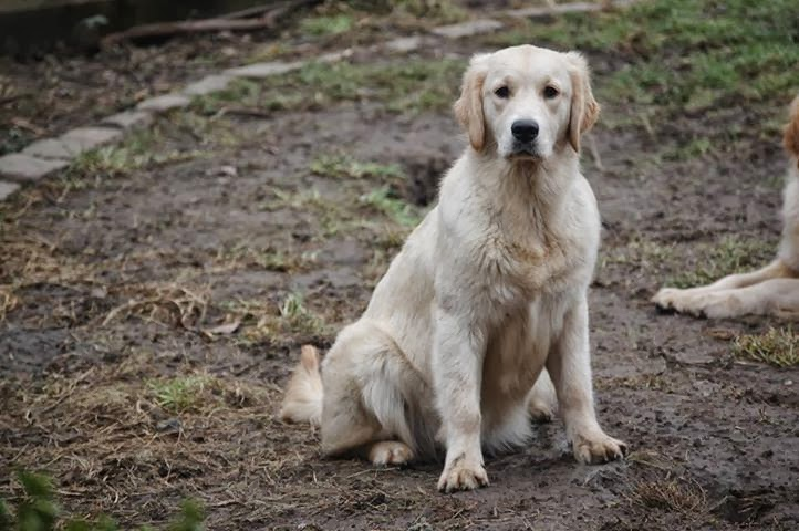 golden retriever, perdue,chien perdu, disparue, thullies, le roeulx, belgique, couleur creme, recompense, alex maigney
