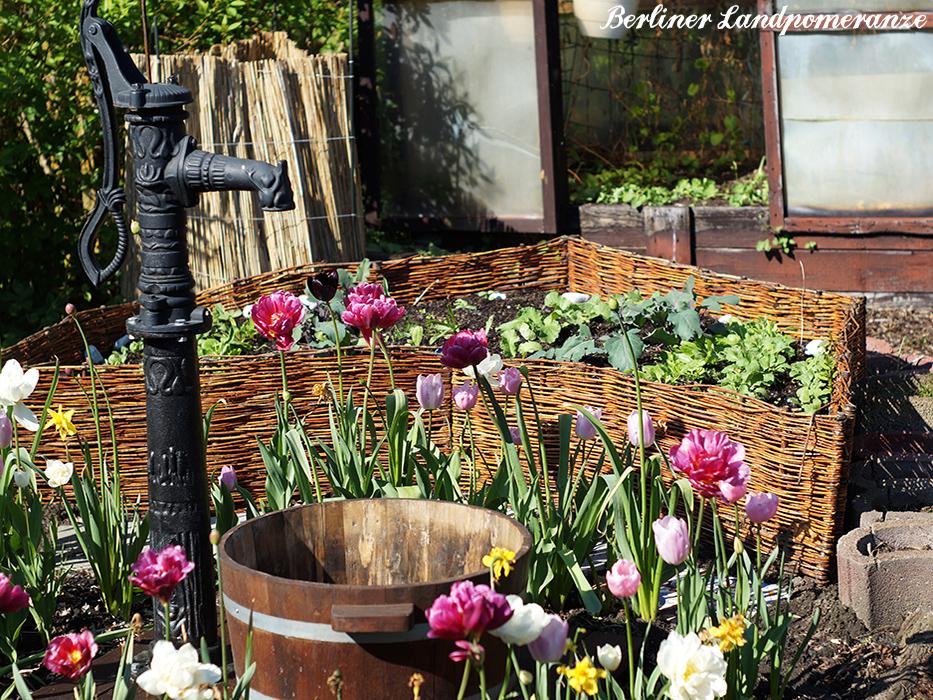 Gemuesegarten im Mai