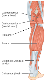 Plantaris- www.physioscare.com