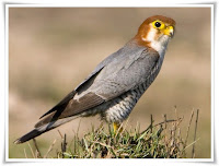 Falcon Bird Animal Pictures