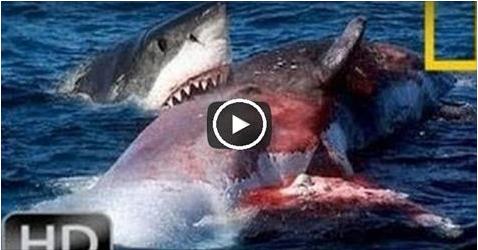 صراع دامٍ بين سمكتي قرش بسبب...شاهد المفاجأة