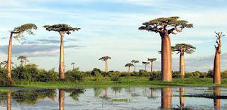 Pohon  Teapot Baobab