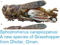 https://sciencythoughts.blogspot.com/2017/06/sphodromerus-carapezzanus-new-species.html