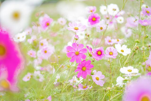 コスモス,秋桜,花