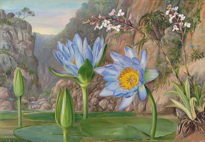 Ilustración botánica de nenúfar azul
