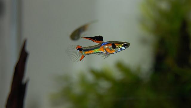 Rata-rata Umur Hidup Ikan Guppy