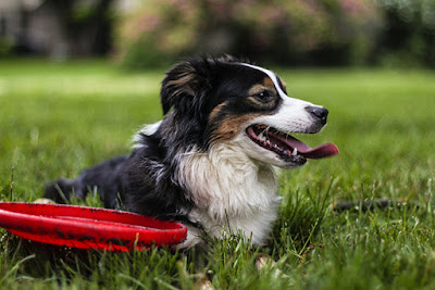 A black, brown and white dog is lying on grass next to a red frisbee