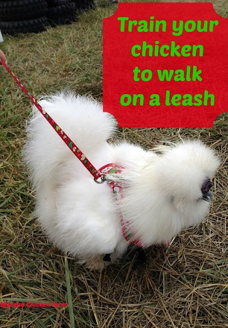 chicken walking on a leash!