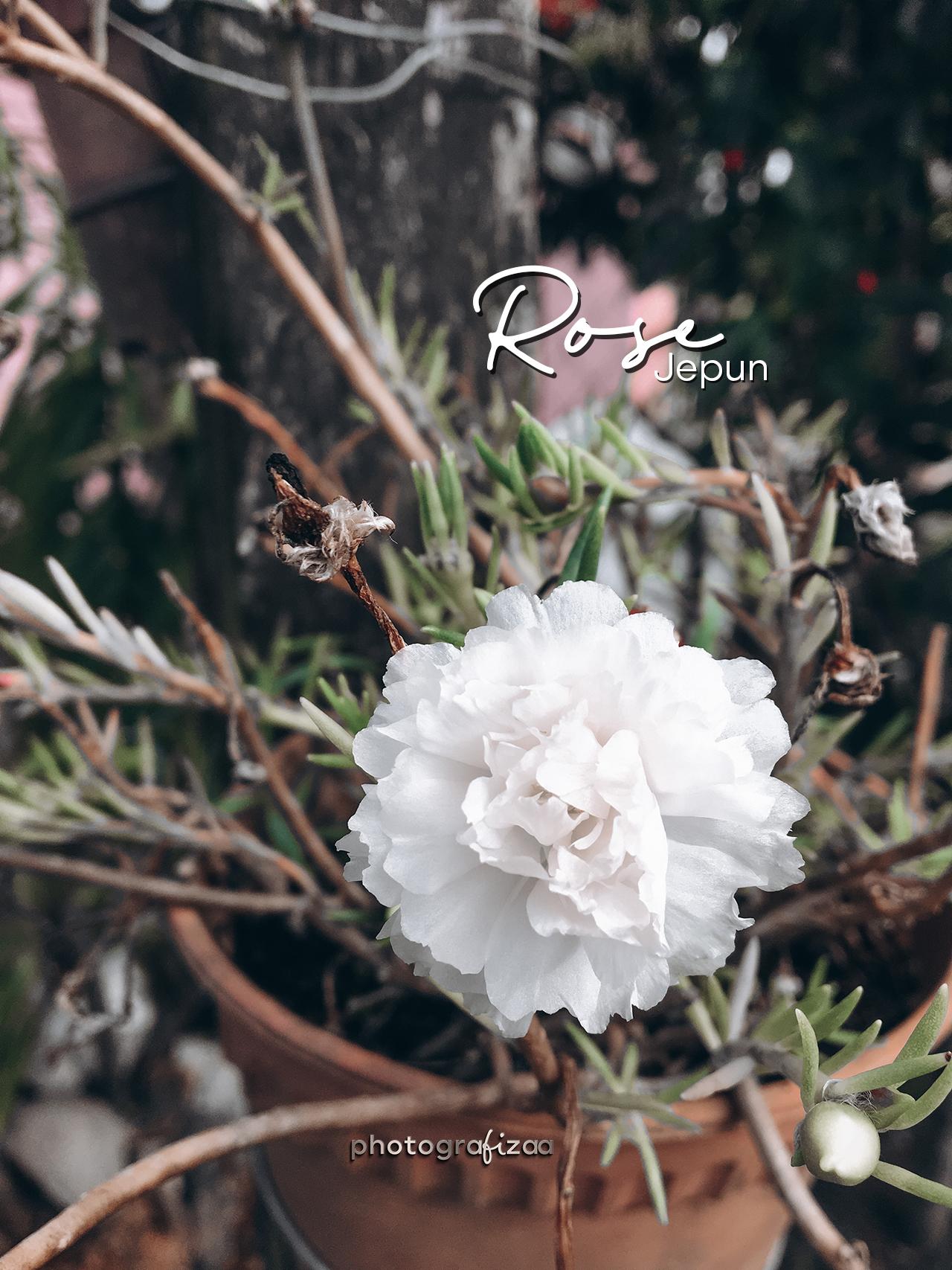 Rose Jepun Putih