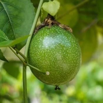 कृष्णा फळ, Passion fruits name in Marathi