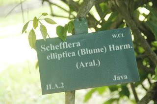 Tanaman cenama gajah yaitu tanaman semak abadi yang hidup disekitar kita Manfaat Tanaman Cenama Gajah (Schefflera elliptica (Blume) Harms Araliaceae)