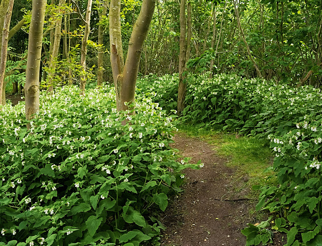 Path through woods lined with comfrey covered in white blossom