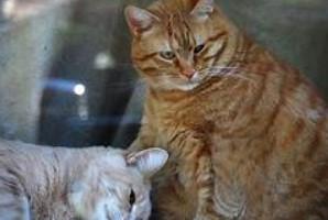 Навіщо вам потрібен Pet страхування здоров'я для вашого кота