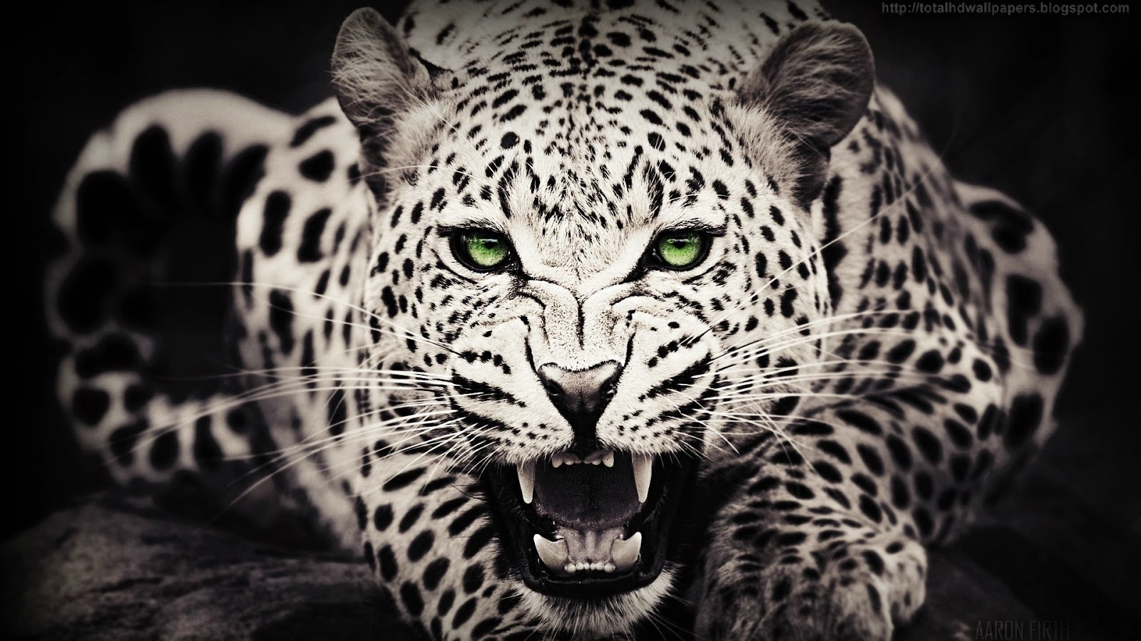 Kamal Shah: Cheetah HD Wallpapers