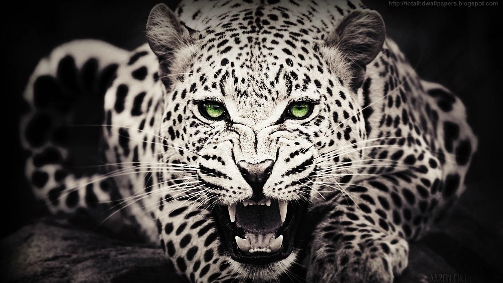 Kamal Shah: Cheetah HD Wallpapers