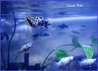 Ikan Marble