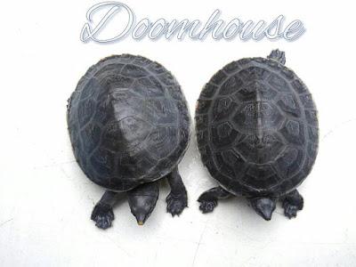 Crías de Dermatemys mawii