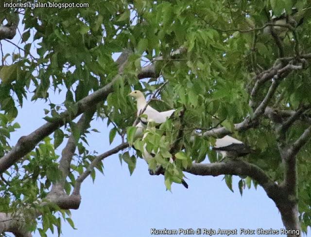 Burung Kumkum Putih di Pulau Waigeo Raja Ampat