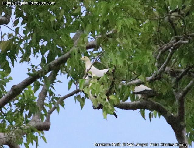 Burung Kumkum Putih atau Pergam Laut di Pulau Waigeo Raja Ampat
