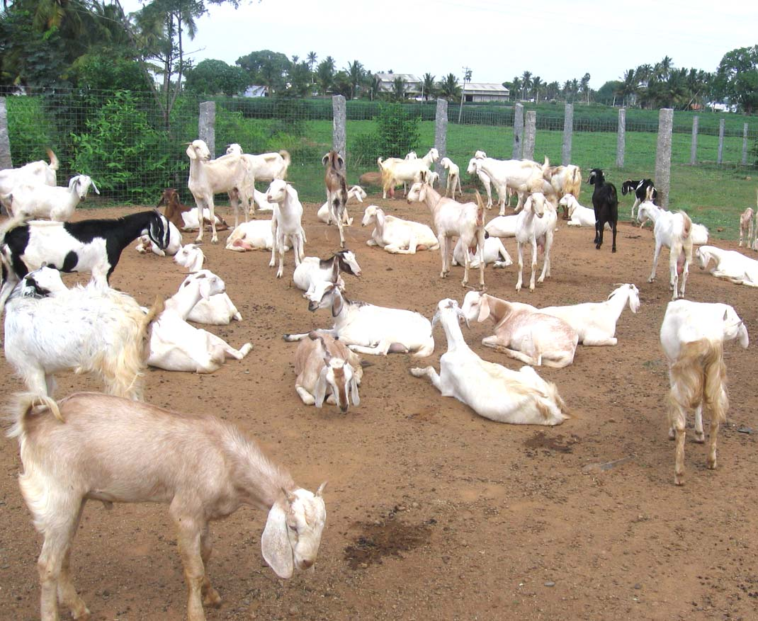 Starting a Goat Farm – Sample Business Plan Template