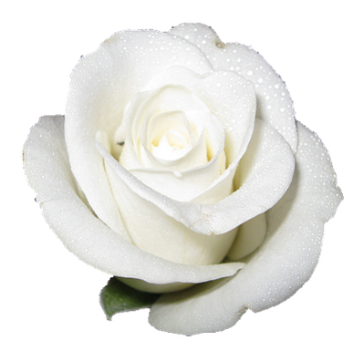 white rose bakcground wallpaper hd