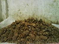 kotoran biji kopi berasal dari binatang luwak