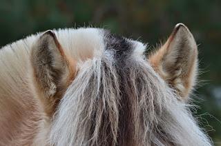 Fjord horse mane