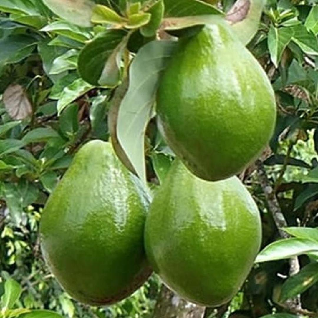 Promo! murah bibit alpukat miki tanaman buah hidup Kota Surabaya #bibit buah buahan