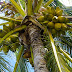 10 Amazing Facts About Coconuts