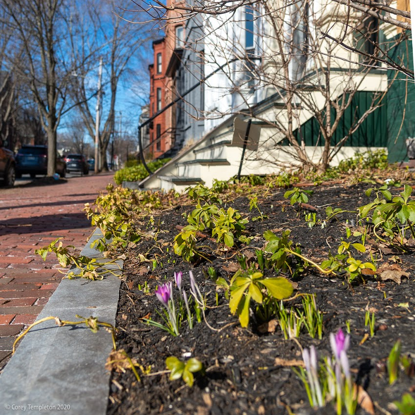Portland, Maine USA March 2020 photo by Corey Templeton. Early crocuses rising up on Carroll Street in the West End.