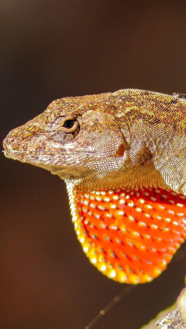 Male brown anole lizard.