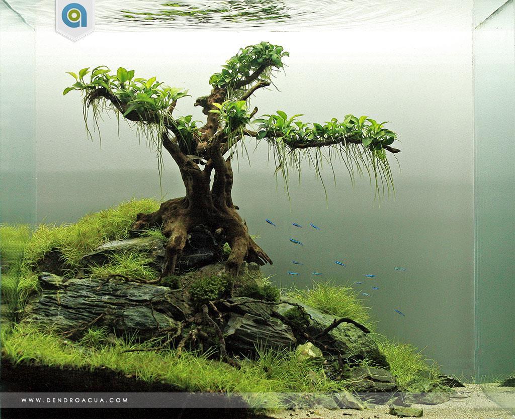 Một hồ thủy sinh đơn giản với cây bon sai buộc ráy nana