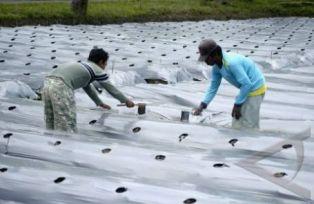 Cara Pemasangan Mulsa Plastik pada Tanaman Cabai Tips Petani