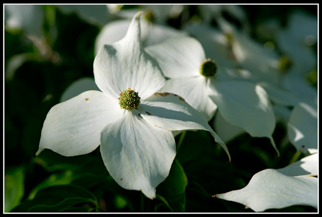 Nova Scotia; Dogwood