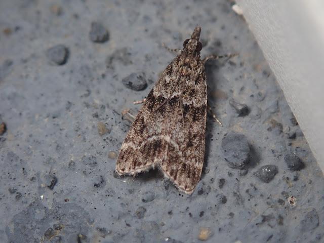 Eudonia mercurella