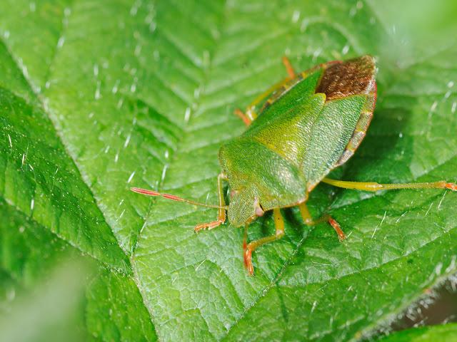 Eine grüne Wanze
