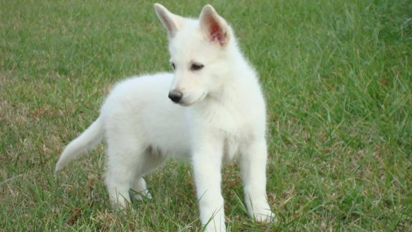 100+ White German Shepherd Huskies Hybrid – yasminroohi