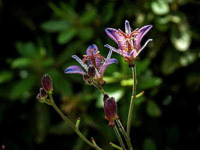 Hototogisu (Tricyritis hirta) flowers: Kaizo-ji