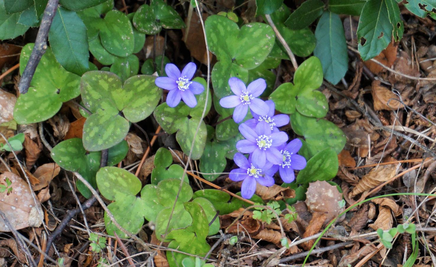 Spring flowers near Pas de la Piastre
