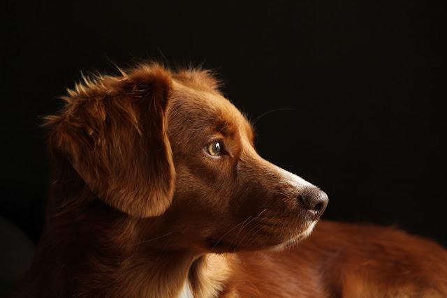 صورة مميزة لكلب جولدن