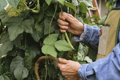 Tips for å vokse et fall crop av Beans